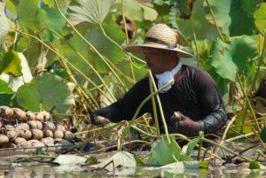 腰まで水に浸かっての、大変なレンコンの収穫作業